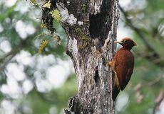 Flickr - Rainbirder - Chestnut Woodpecker (Celeus elegans)