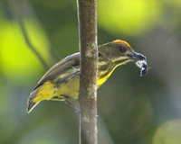 Yellow-breasted Flowerpecker