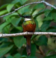 Male Rufous-tailed Jacamar