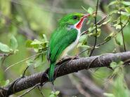 Puerto Rican Tody (Todus mexicanus) RWD