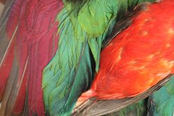 Red feather pigments