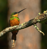 Female Rufous-tailed Jacamar