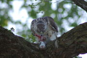 Red-tail having dinner