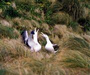 Pair of Southern Royal Albatrosses