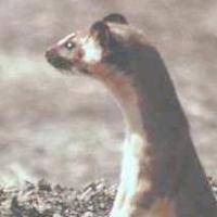 Colombian Weasel