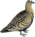 Four-banded Sandgrouse