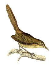 Nesillas typica typica 1868