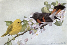 Sunshine the Yellow Warbler, Zee-Zee the Redstart