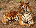 2012 Suedchinesischer Tiger