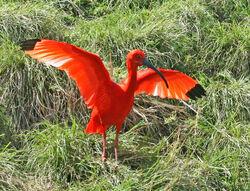 Scarlet Ibis SMTC