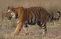 Tigerramki