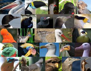 Coronaves diversity. Not shown: Plataleiformes.