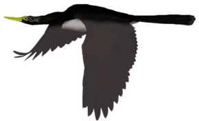 Male Frost Anhinga in flight