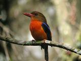 Brown-headed Paradise-Kingfisher