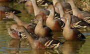 Plumed Whistling-Ducks