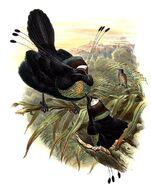 Parotia sefilata by Bowdler Sharpe