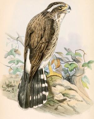 Spiziapteryx circumcincta 1862
