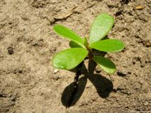 Small-plant