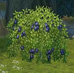 Black chokeberry bush