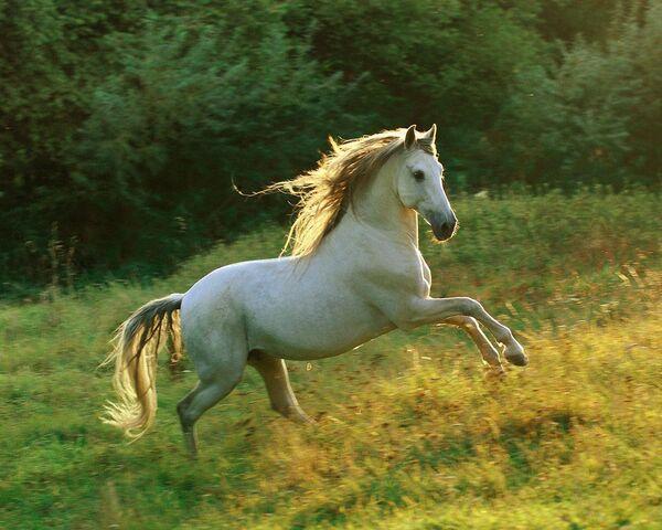File:Andalusian horses (10).jpg