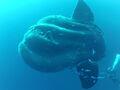 Southern Sunfish