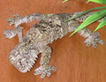 Mossy Leaf-Tailed Gecko 1