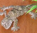 Mossy Leaf-tailed Gecko