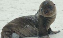 Wildlife-fur-seal-©-Tisch-Scott
