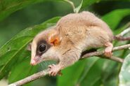 1-kalinowskis-mouse-opossum-philippe-psailascience-photo-library