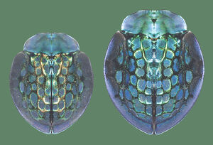 Imperial Tortoise Beetle Size