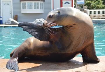 Makaia (sea lion) | All Species Wiki | FANDOM powered by Wikia
