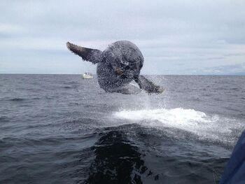 Humpback Whale Calf Breach