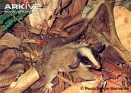 Bushy-tailed-opossum