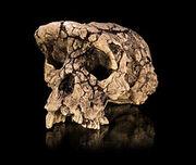 230px-Sahelanthropus tchadensis - TM 266-01-060-1
