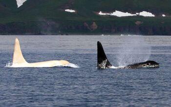Orca Albino 2