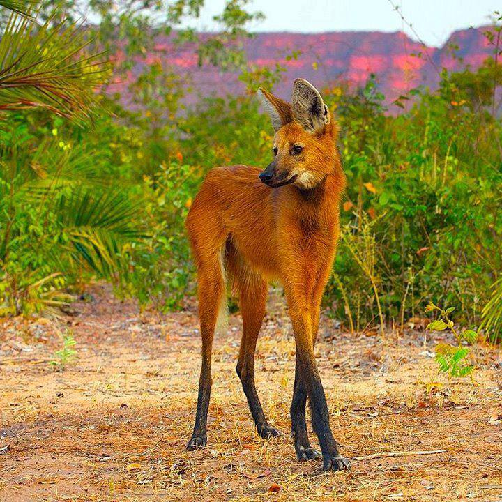 Maned Wolf All Species Wiki Fandom Powered By Wikia