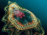 Spanish Dancer Jellyfish