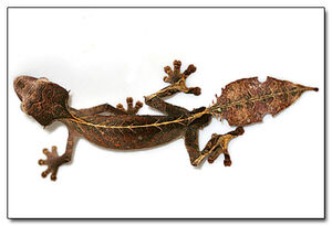Baweng Satanic Leaf Gecko 1