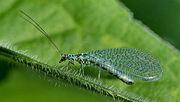 250px-Chrysopidae 01 (MK)