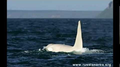 """Iceberg "" albino Orca"