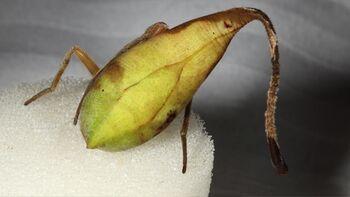 Leaf-Mimicking Spider 1