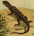 Victorian Grassland Earless Dragon