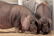 Meishan Pig 1