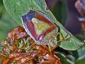 Gorse Shield Bug 1