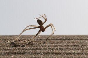Moroccan Flic-Flac Spider