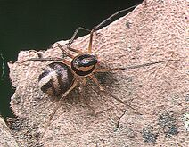 Brown Spitting Spider Male