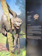Pierolapithecus catalaunicus (Pau) a l'Institut Català de Paleontologia Miquel Crusafont