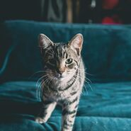 Portrait-of-cat-sitting-on-sofa-at-home-royalty-free-image-1574708553