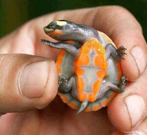 Red-bellied short-necked Turtle Hatchling
