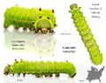 Luna Caterpillar
